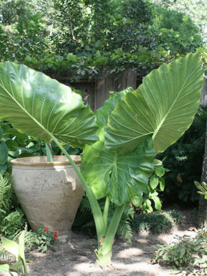 Elephant Ears In A Garden
