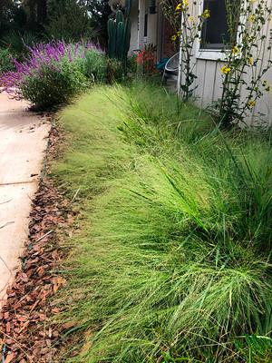Tufts of fine, green Elliots lovegrass along a sidewalk