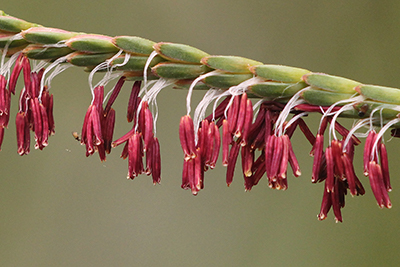 Very close view of tiny pinkish flowers hanging from a blade of fakahatcheee grass