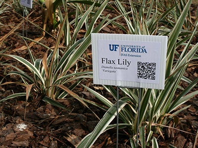 Flax lily plants