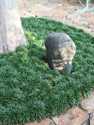 Dwarf Mondo Gr Surrounding Tree
