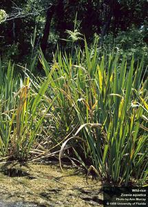 Tall grasslike plants growing in water along pond