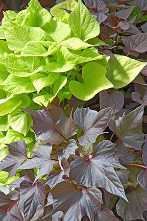 A chartreuse green sweet potato plant and a dark purple sweet potato plant