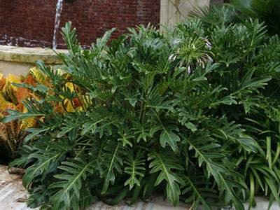 Monstera, not a true philodendron