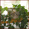 Potted heart-leaf philodendron