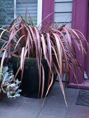 Purple, long, strappy leaves of fountain grass spill over a container next to a door