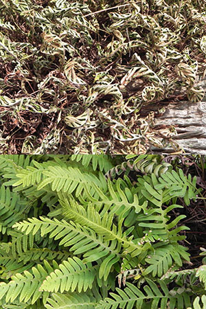 Before and after photos of resurrection fern