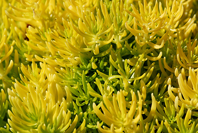 A bright yellow plant that resembles coral