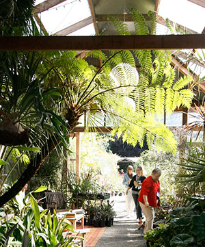 A tree fern stretches overhead shoppers in greenhouse nursery