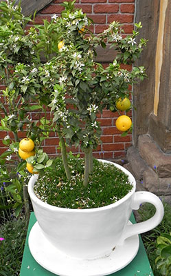 A citrus tree in a teacup-shaped container