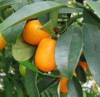 Kumquats on tree