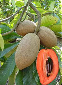 Mamey sapote on tree and one cut open