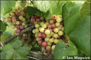 Muscadine grapes photo by Ian McGuire copyrighted