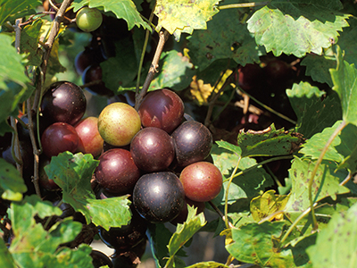 A cluster of perfectly round large purple-green grapes on the vine