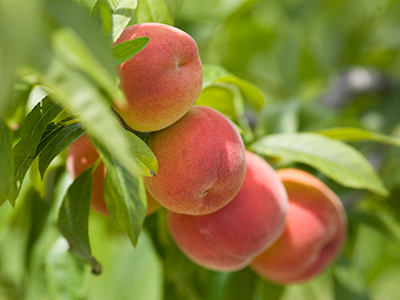 Peaches, by Tyler Jones UF/IFAS
