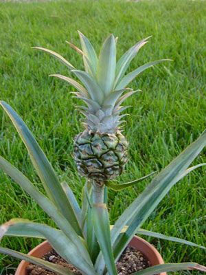 Immature pineapple growing