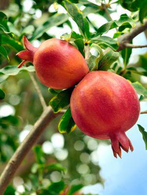 Pomegranate Gardening Solutions University Of Florida