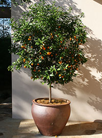 A potted citrus tree