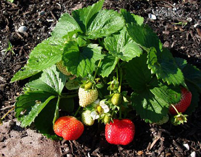 Strawberries gardening solutions university of florida institute of food and agricultural - Plant strawberries spring ...