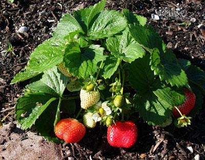 Strawberries Gardening Solutions