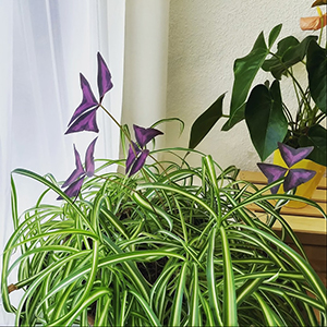 Spider plant with purple clover