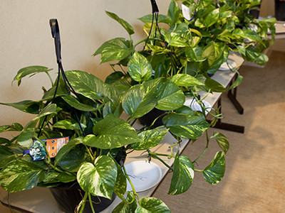 heart-leaf philodendrons in baskets