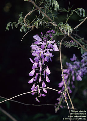 Invasive Chinese wisteria
