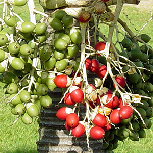 Mature red and unripe green fruit hanging from palm trunk in bunches like grapes