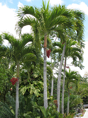 Several graceful palms with some showing bright red fruits