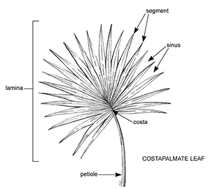 black and white line drawing of a fan-shaped costaplamate leaf