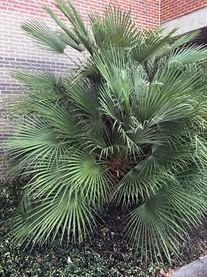European Fan Palm Gardening Solutions University Of