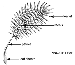 Palm Leaf Structure Gardening Solutions University Of Florida Institute Of Food And Agricultural Sciences A wide variety of artificial tropical leaves options are available to you, such as material, occasion, and plant type. palm leaf structure gardening