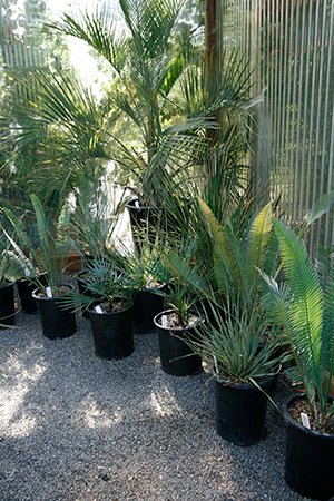Several palms and cycads in black plastic pots
