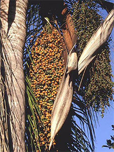 Queen palm fruit on tree