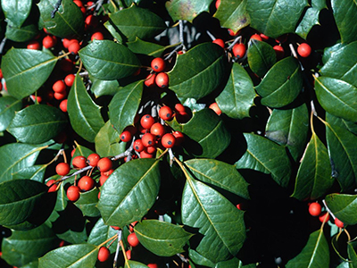 American holly leaves and berries
