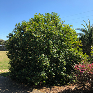 Banana Shrub Gardening Solutions University Of Florida