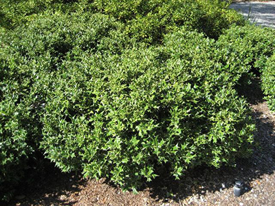 small shrubs with tiny green leaves