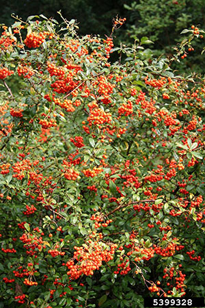 Firethorn shrub full of red berries