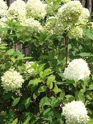 Green shrub with clusters of very pale green flowers