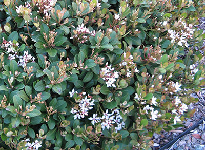 Indian hawthorn gardening solutions university of for Indian food hawthorne