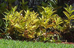 An ixora shrub that's very small, with yellow leaves and no flowers