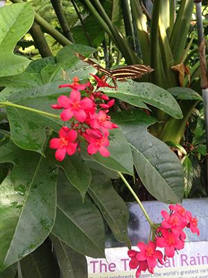Jatropha Gardening Solutions University Of Florida Institute