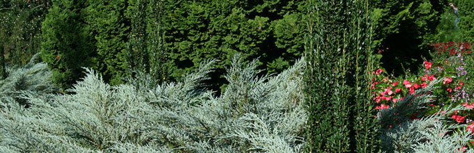 Light green juniper shrubs with tall thin holly