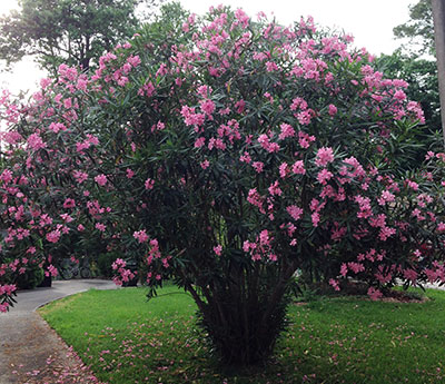 Oleander university of florida institute of food and agricultural oleander pink oleander mightylinksfo