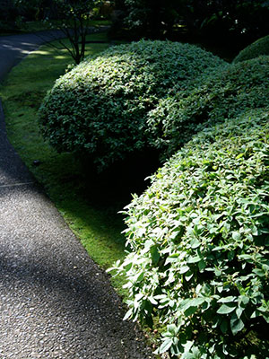 Shapely pruned shrubs in Oregon