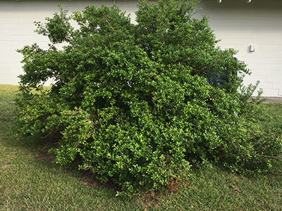 Large Simpson's stopper shrub in October 2016