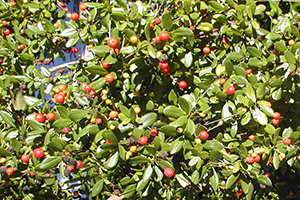 The small shiny foliage and red berries of Simpson's stopper