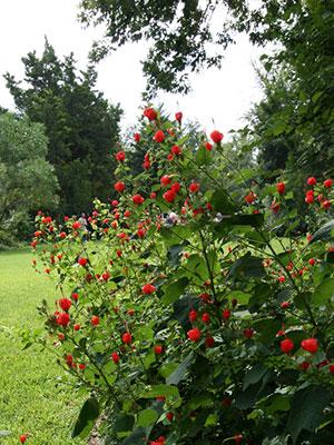 Malvaviscus arboreus RED TURKS CAP 1 Plant!