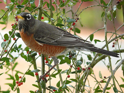 American robin in weeping holly tree