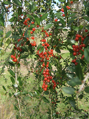 Red berries of the weeping yaupon holly